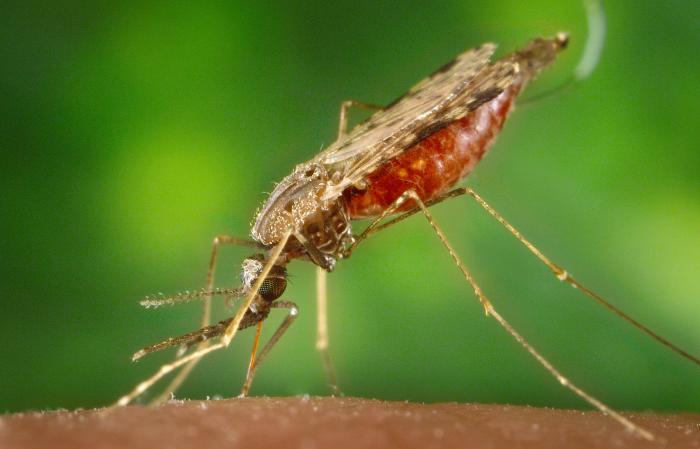 ไข้จับสั่น หรือไข้มาลาเรีย