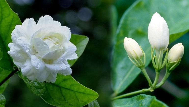 ดอกมะลิ วันแม่แห่งชาติ สรรพคุณดอกมะลิ