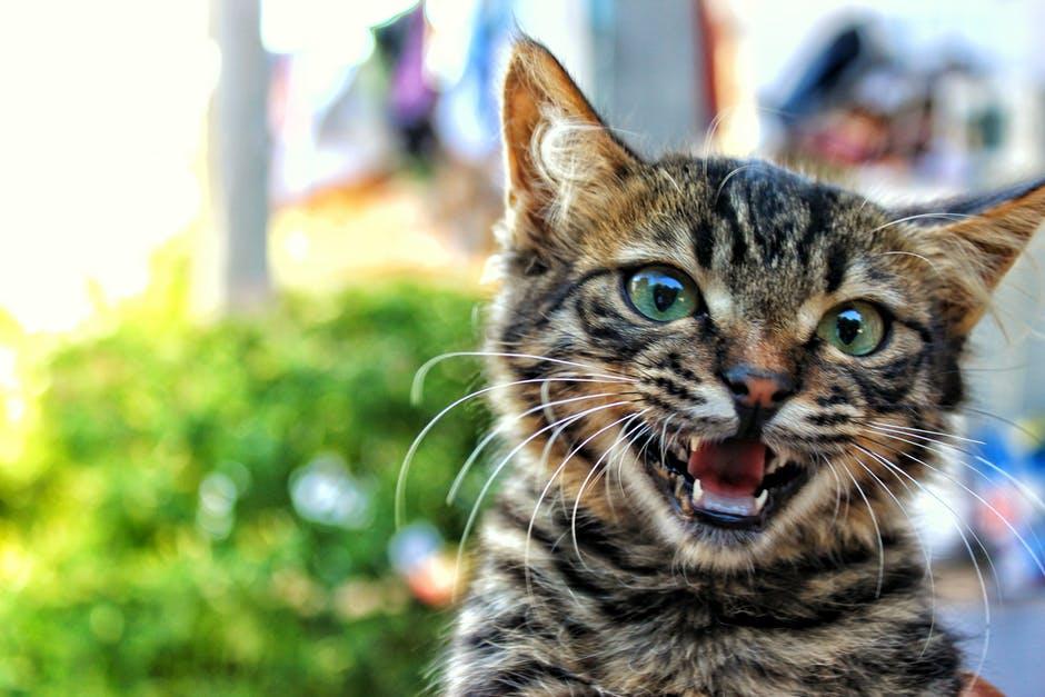 สมองอักเสบ สัตว์เลี้ยง แมว โรคแมวข่วน