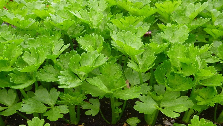 ขึ้นฉ่าย ประโยชน์ ผัก ผักสีเขียว