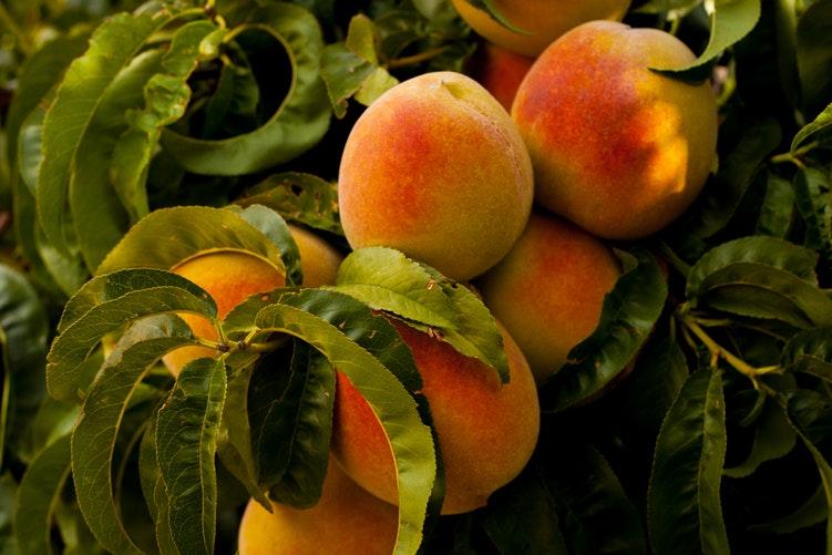 peach ผลไม้มงคล ลูกท้อ