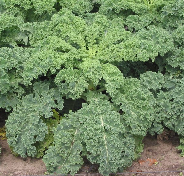 Kale is the queen of green vegetables